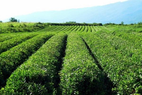 чайная плантация в Абхазии