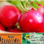 редис Селеста - описание сорта, отзывы, агротехника