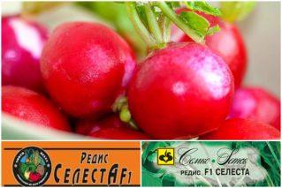 Read more about the article Редис сорта Селеста F1 – мечта огородника: описание сорта, особенности выращивания, отзывы
