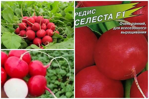 особенности выращивания редиса сорта Селеста