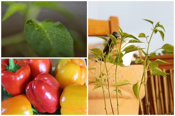 выращиваем рассаду перца в домашних условиях