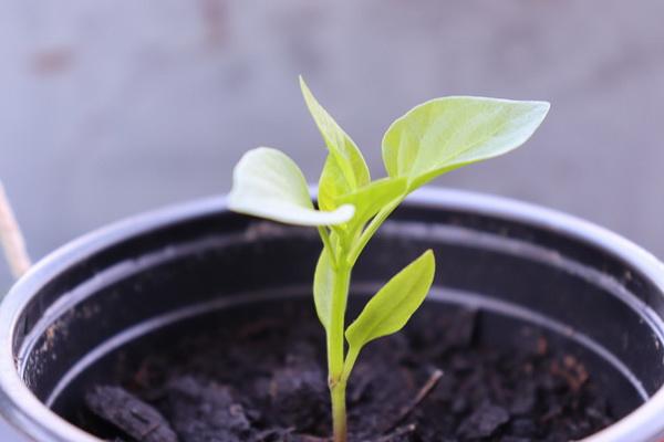 выращивание рассады сладкого перца