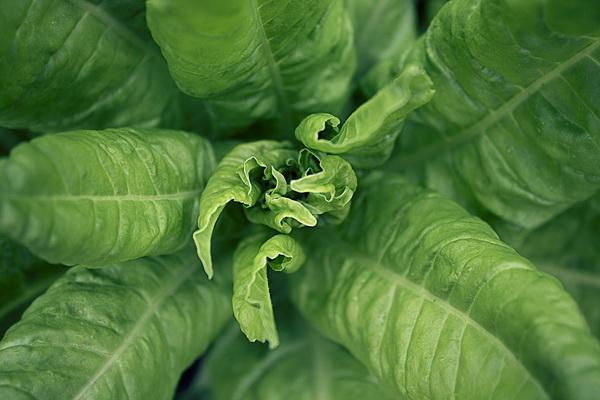 листовая свекла - мангольд