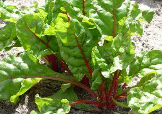 листовая свекла (мангольд) - выращивание в открытом грунте