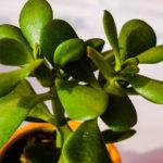 Почему опадают листья у денежного дерева и что делать в этой ситуации