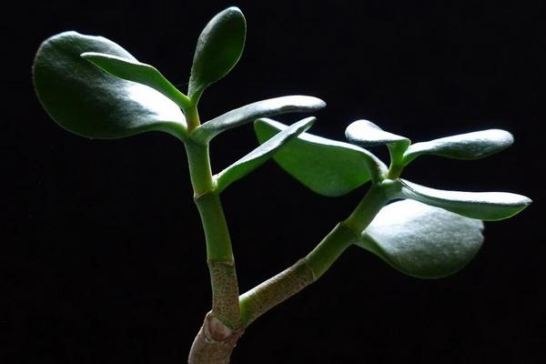 что делать если опадают листья у толстянки