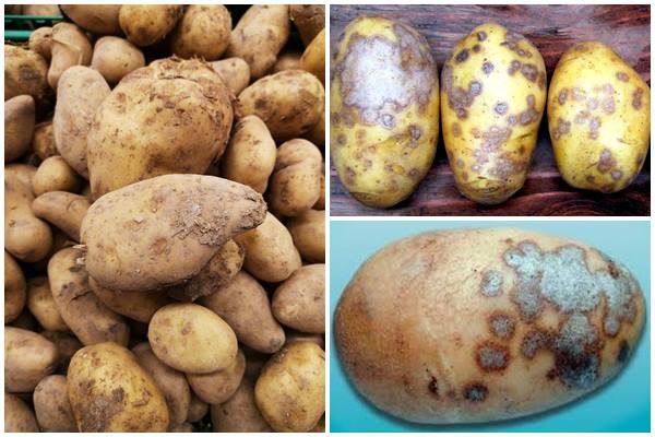 арша серебристая на картофеле - фото
