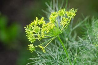 С чем рядом сажать укроп: выбираем место для душистой травы