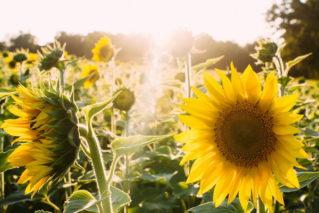 Можно ли сажать на огороде подсолнух, что можно посадить рядом с ним