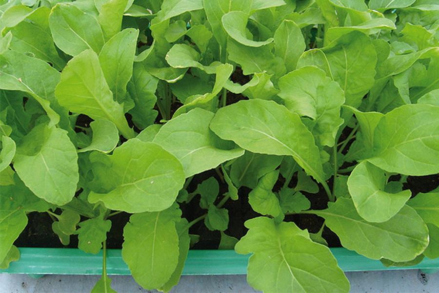 Как вырастить руколу в домашних условиях: особенности агротехники