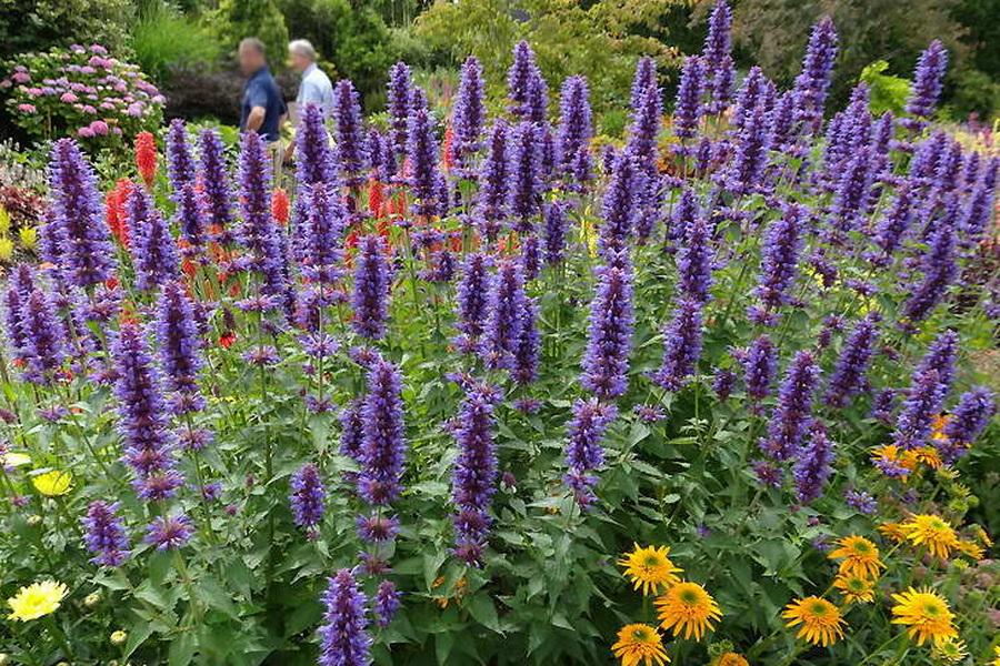 You are currently viewing Клумба с пряными травами на своем участке: выращиваем шалфей, иссоп, тархун, анисовый лофант и фенхель