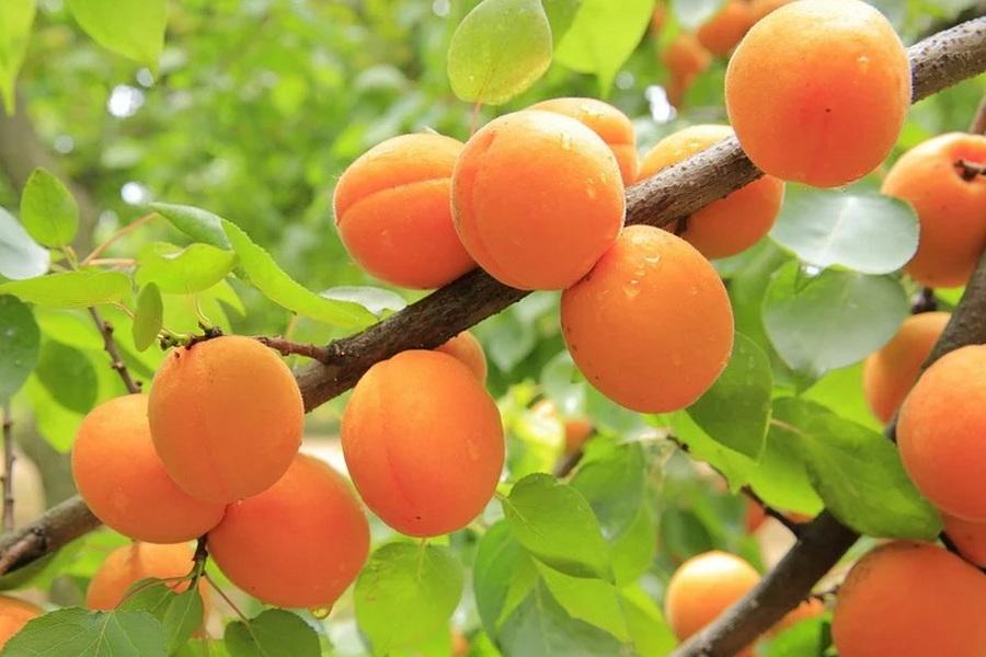 Абрикос – это ягода или фрукт: место плода в ботанической и других классификациях