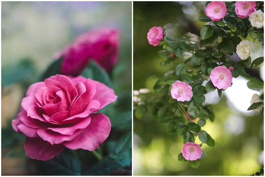 Почему роза превращается в шиповник и что делать, чтобы ее вернуть