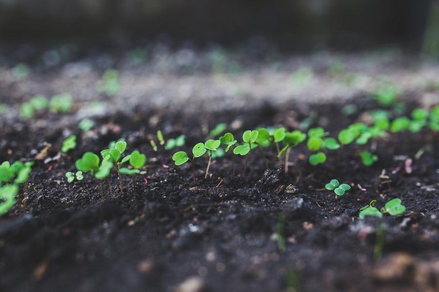 Как вырастить руколу в открытом грунте: когда сажать, как ухаживать