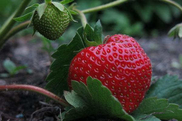 чем подкормить клубнику в период завязывания плодов