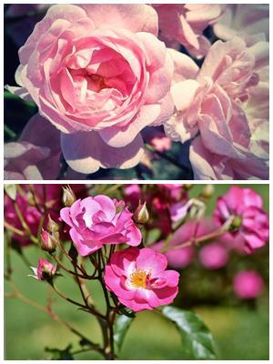 вырождение розы