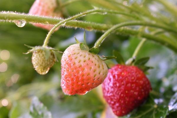 чем подкормить клубнику в период плодоношения