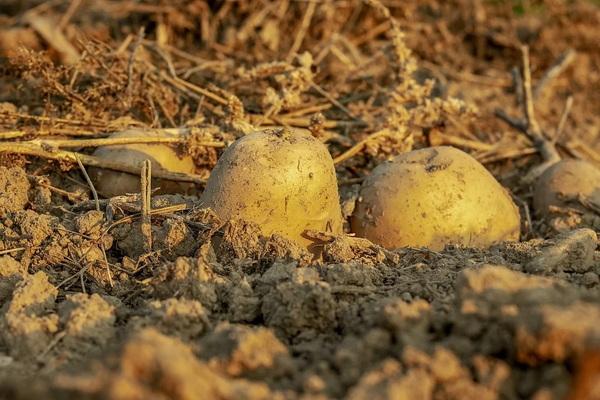 что растет на песчаной почве