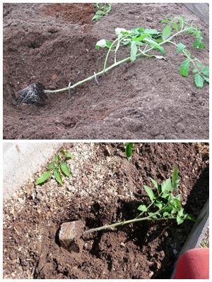 как сажать переросшие помидоры