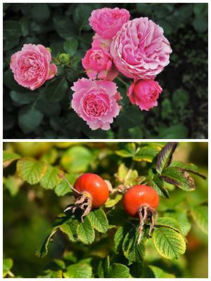 чем роза отличается от шиповника