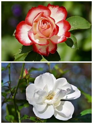 цветок розы и цветок шиповника