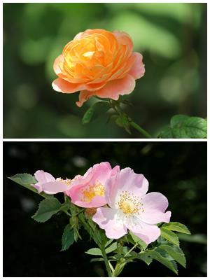 что делать, если роза переродилась в шиповник