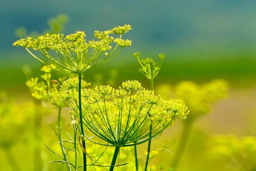 Клумба с пряными травами на своем участке: выращиваем шалфей, иссоп, тархун, анисовый лофант и фенхель