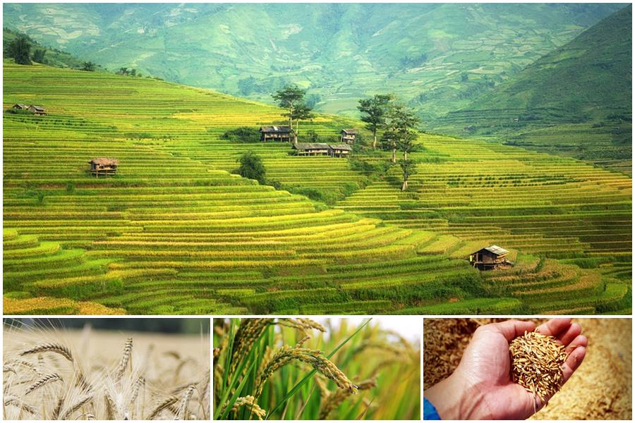 You are currently viewing Каким бывает рис: классификации с названиями видов и сортов, описанием и фото